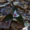 Painted Trillium (Trillium undulatum)...