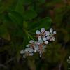 On the summit of Stone Mountain: Black Chokeberry (Aronia melanocarpa)...