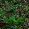 Pink Lady's Slipper (Cypripedium acaule)