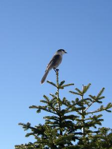 A gray jay