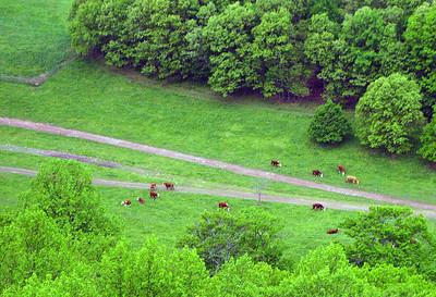 Cows below