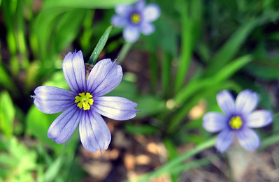 Pointed blue eyed grass