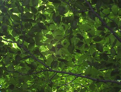 Beech tree canopy