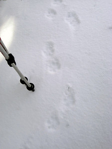 Fox tracks maybe?