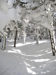 Beautiful section of snowy trees