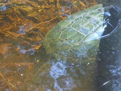 This turtle was huge, but uncooperative!