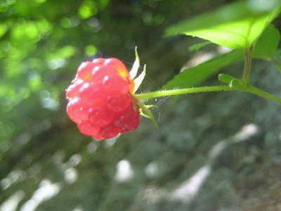 Poor raspberry's last moments
