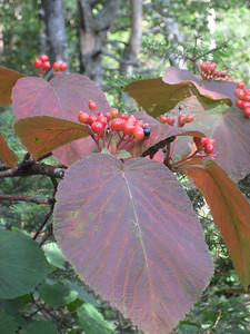 Red leaves on hobblebush