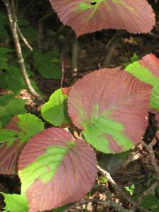 Lots of red hobblebush along the way
