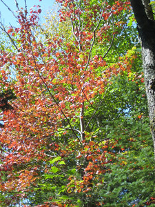 A very red birch