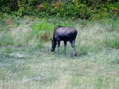 Roadside moose
