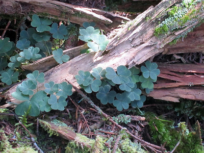 Clovers and wood... just thought it looked pretty