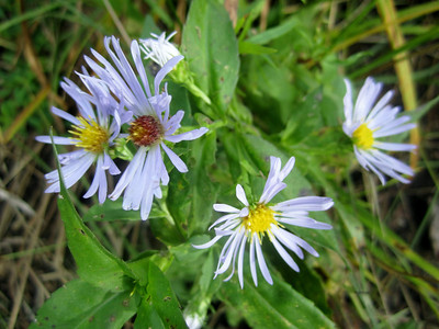 Purple asters