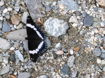 White admiral butterfly in the parking lot