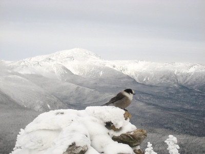 Gray jay on the cairn atop Mt. Jackson