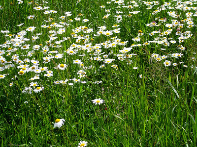 Loads of daisies near the trailhead