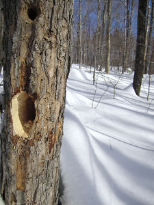 A woodpecker was *just* here