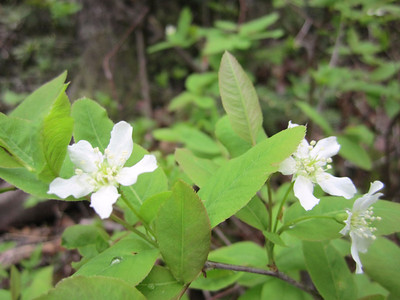 Have to check this one... juneberry, maybe?