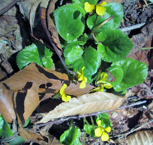 Downy yellow violets