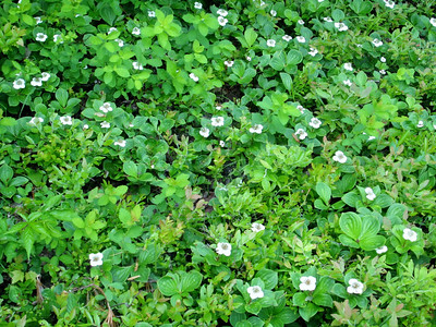 Loads of bunchberry