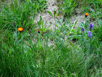 Devil's paintbrush and Self-Heal