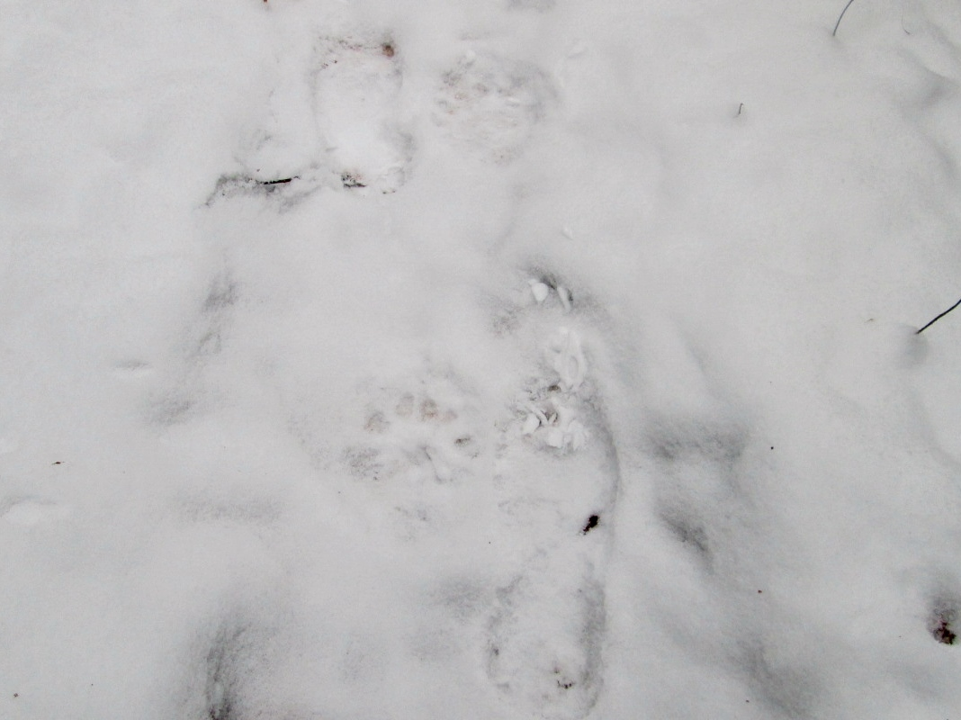Bear tracks running next to Amicus' boot tracks.