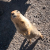 <b>30 July 2011</b> Well trained ground squirrel plies us for food.
