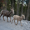 <b>29 July 2011</b> Rocky Mountain Sheep and Lamb, trotting along the Whiteman's Gap road as we drive back into town