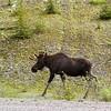 <b>2 July 2012</b> Bull moose wandering down the road in K-Country