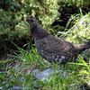 As we were heading down into the green and snow-free regions of the trail, we met this bird, who looked at us suspiciously as she shepherded her chicks along.  She's a female Dusky Grouse.