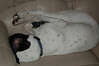 Koda sleeping with his bandaged paw...