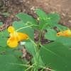 Orange dragonsnap flowers
