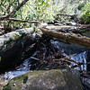 As I got closer to the confluence of Thomas and Darnell Creeks, the rhododendron got impenetrable.  I made several dead-end drops down to the creek in hopes of finding a way through.  In summertime, it may be possible to wade up the creek but there are several rock shoals that will impede your progress.   The best route turned out to be higher on the slope picking, crawling and cutting through the rhododendron.