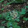 A Four Leafed Milkweed?