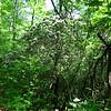 "A few bushes of ""Ivy""- Kalmia"
