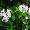Rhododendron carolinianum.  Fading fast.