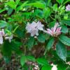 I even found a Carolina Rhododendron bush!