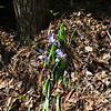 An isolated bunch of Dwarf Iris along the Auger Hole Road.