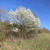 In fifteen or twenty minutes, the trail enters a highland meadow.  Here is an example of a blooming service berry tree.