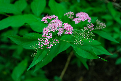 This is what the flower looks like.  Could this be the invasive shrub Spiraea japonia?  Or, so called, Japanese Spiraea or  Japanese Meadowsweet ?