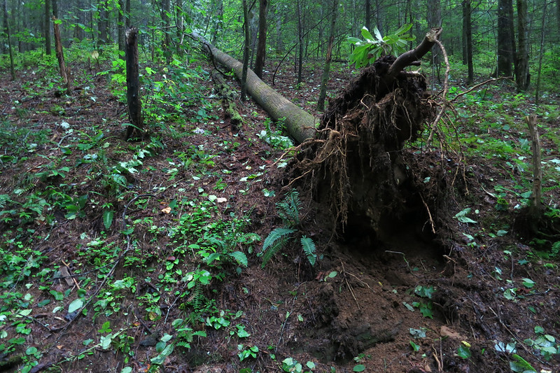 This tree fell away from the trail.  I could see an occasional tree up in the woods that had been toppled.  No wide-spread damage.