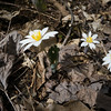 I found two coves with patches of blood root wild flowers.
