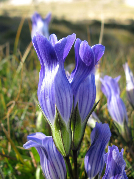 Ahhh. Gentian. There was a section at the edge of the meadow just full of these.