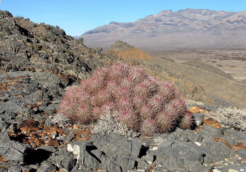 Fatty cactus bunch. (Pahrump Peak in the didtance)