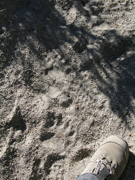 Big and little bear tracks