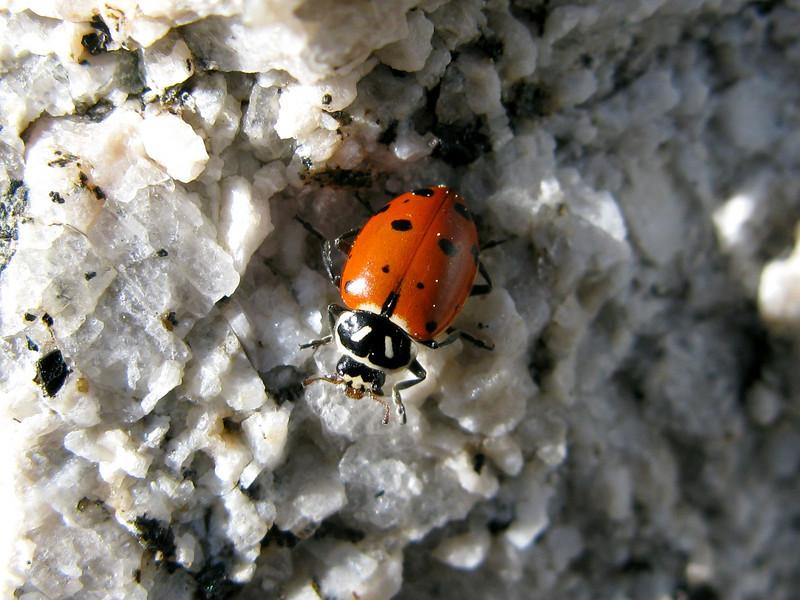 High altitude lady bug