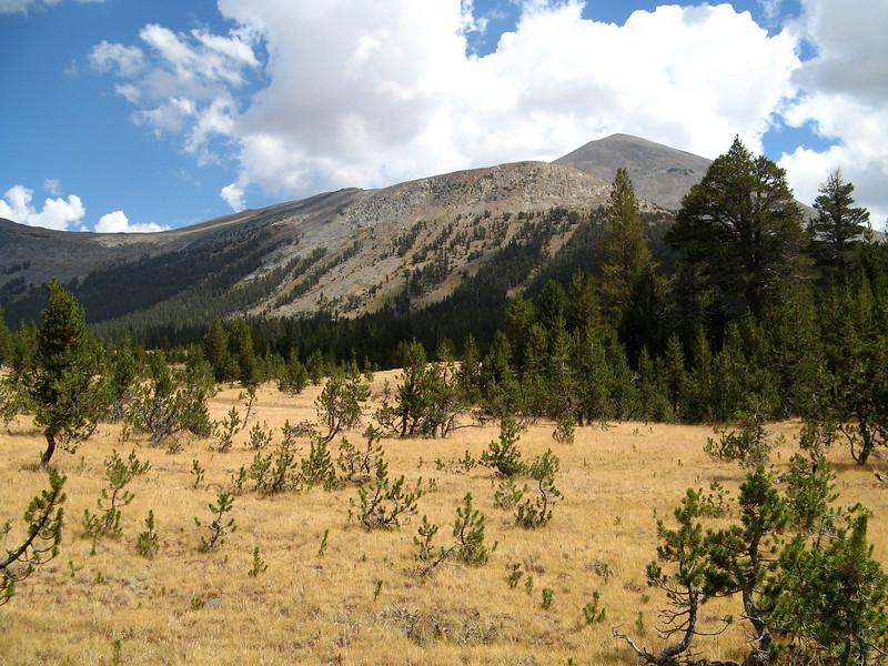 New grove (Mt Dana behind)