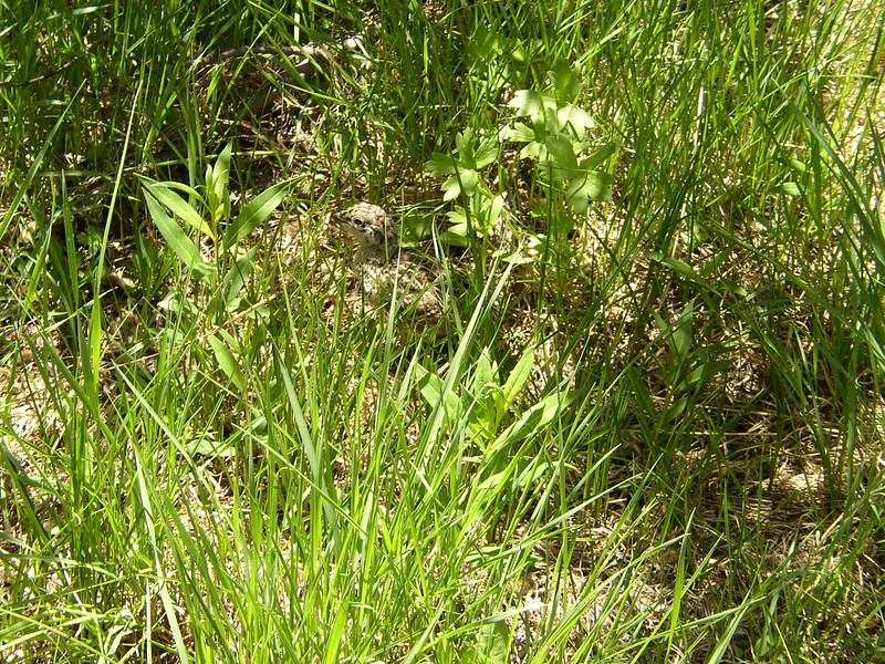 You have to look close, but there is a baby Grouse in the grass.