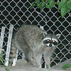 First sign of wildlife was the Raccoon at the hotel in Mammoth Lakes the night before our hike.