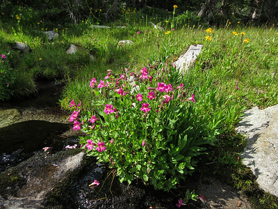 Some nice monkey flowers in a creek bed.